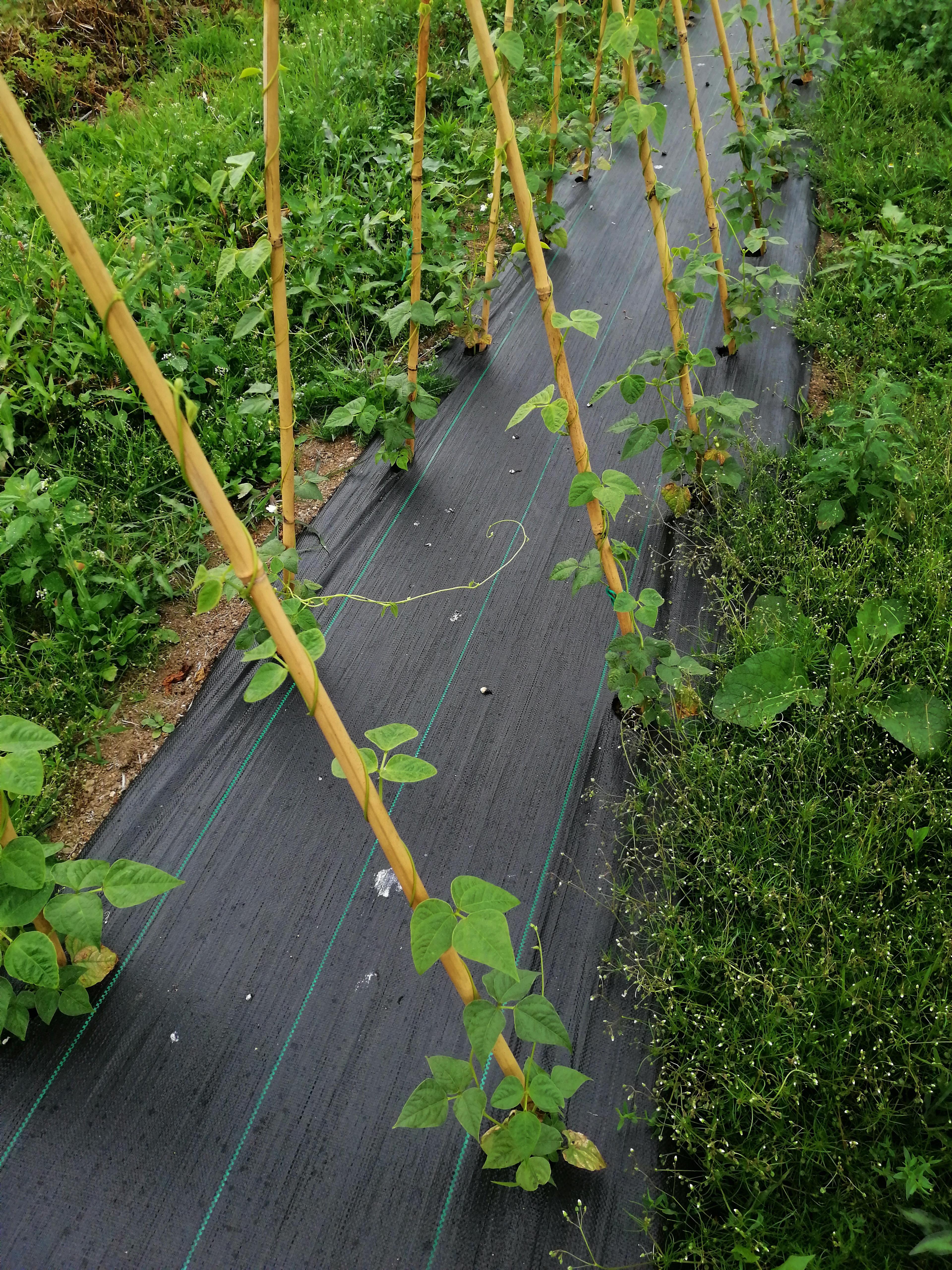 Judia verde cosechada de manera tradicional