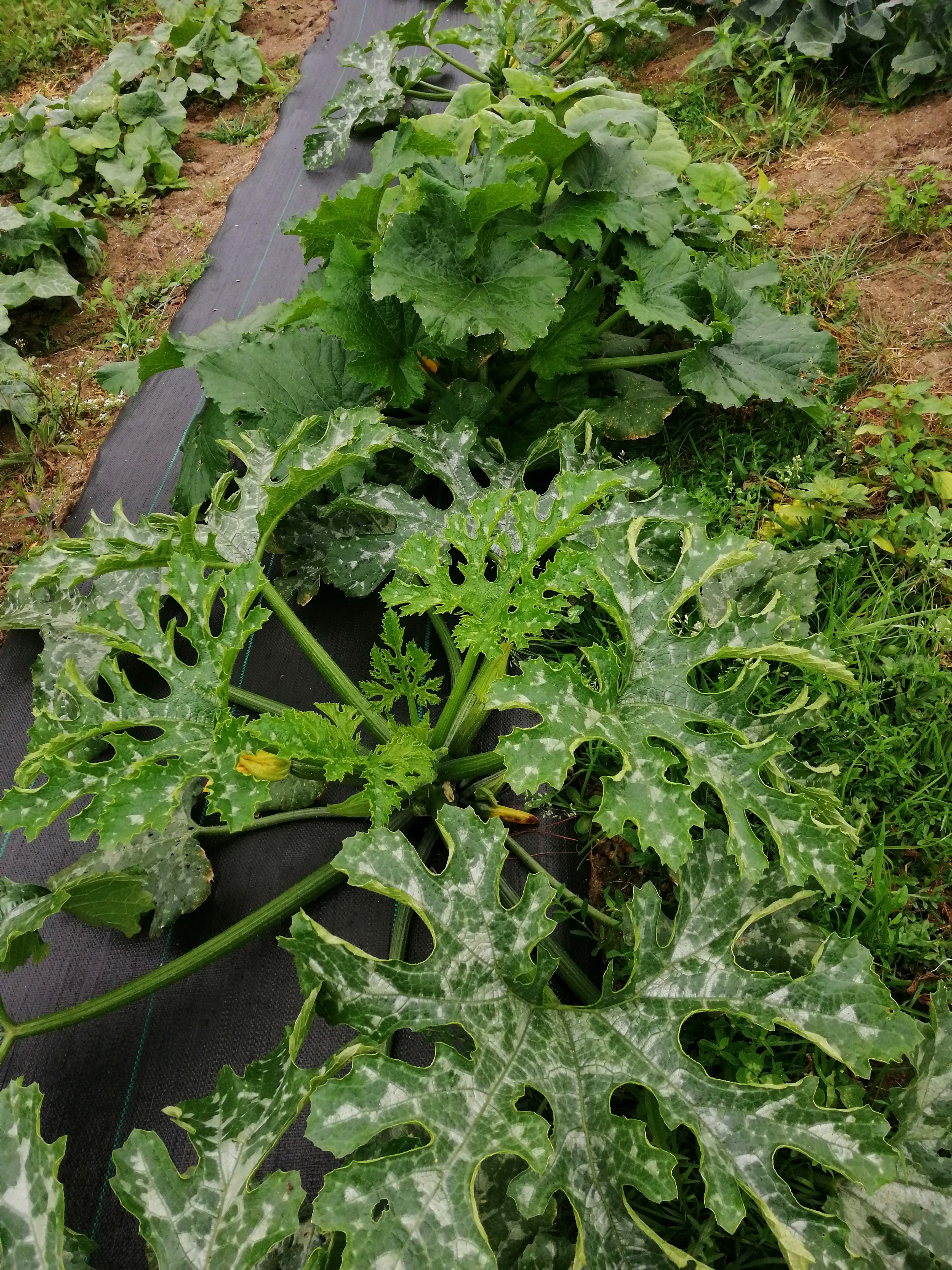 Calabacin cosechado de manera tradicional
