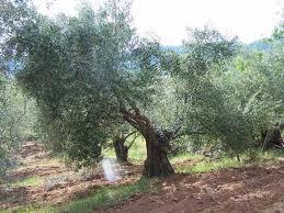 HOJAS DE OLIVO FRESCAS AL PORMAYOR- RECIEN RECOGIDAS - Hojas de olivo comprar, comprar hojas de olivo para bodas,comprar hojas de olivo frescas,comprar hojas de olivo para infusión,donde comprar hojas de olivo,donde venden hojas de olivo,hojas de olivo para el cabello