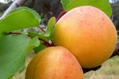 Organic apricots € 3.5 / kg