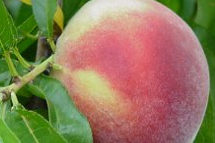 Organic peach 5 Kg