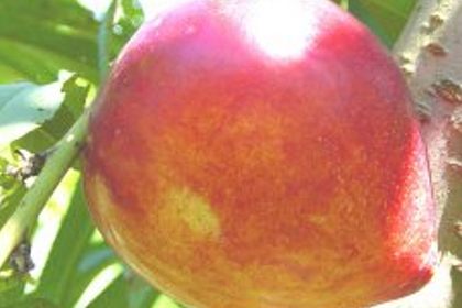 Organic nectarines 4 Kg
