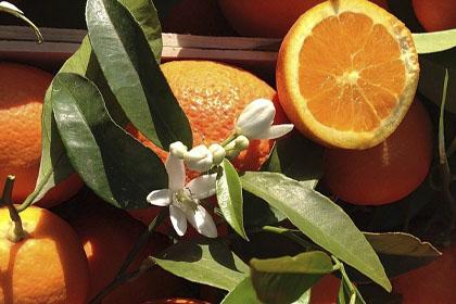 Naranjas Girona
