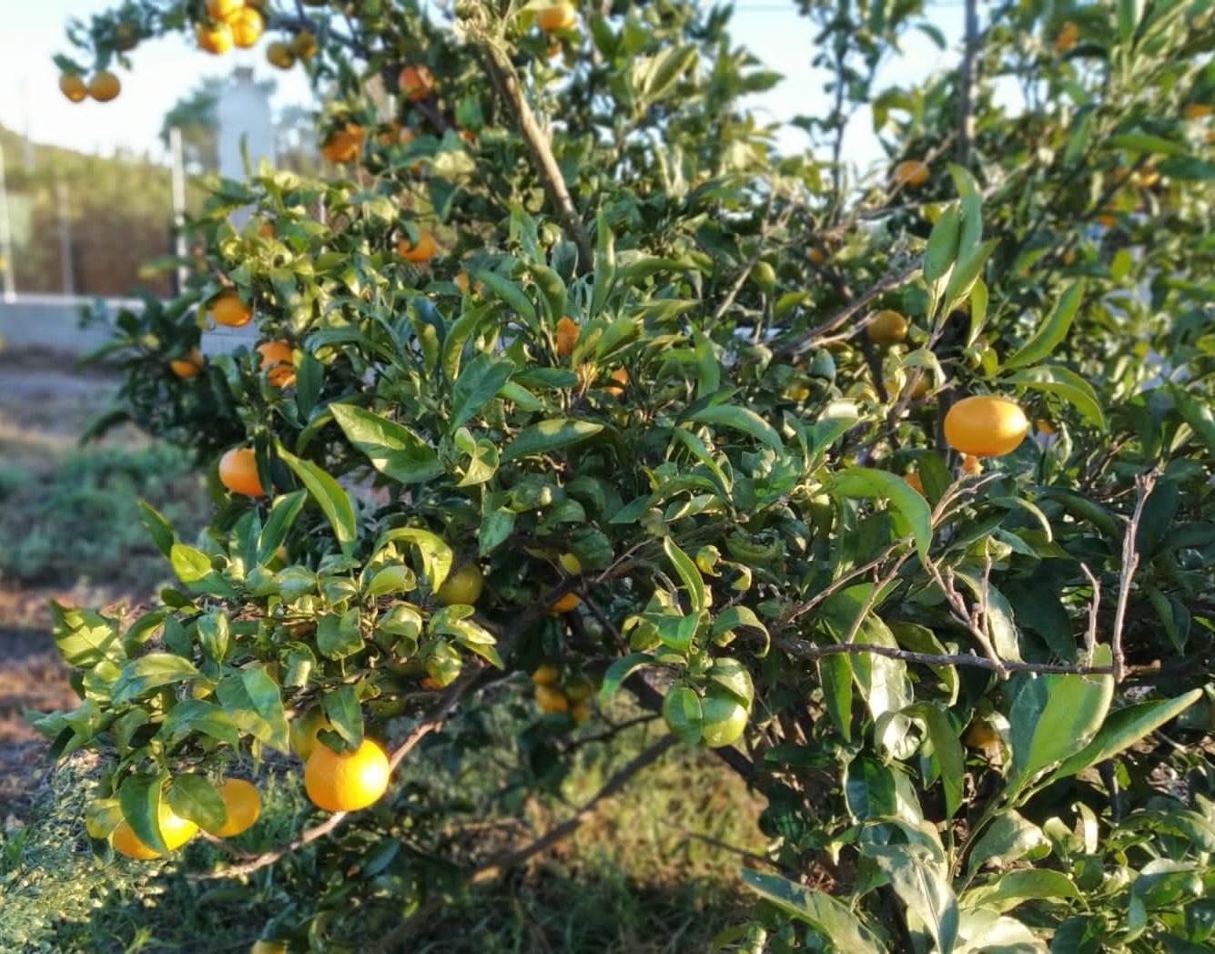 Mandarinas ECO (15 KG)