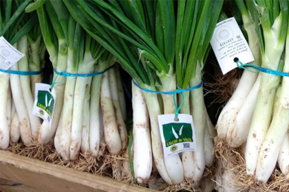 Calçots frescos DO Valls (5 manojos)