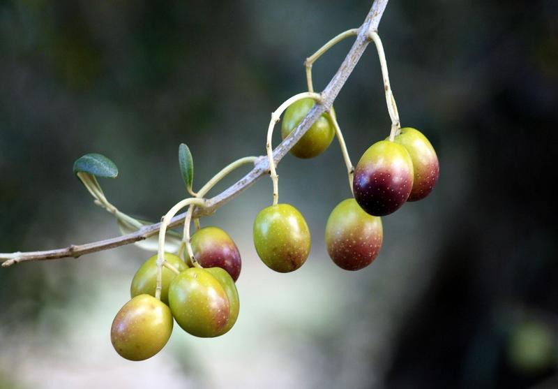 Aceituna Original ecológica para aliñar (Verdial)
