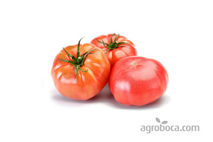 Tomates tipo Barbastro