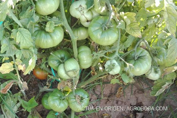 tomaquets ecològics