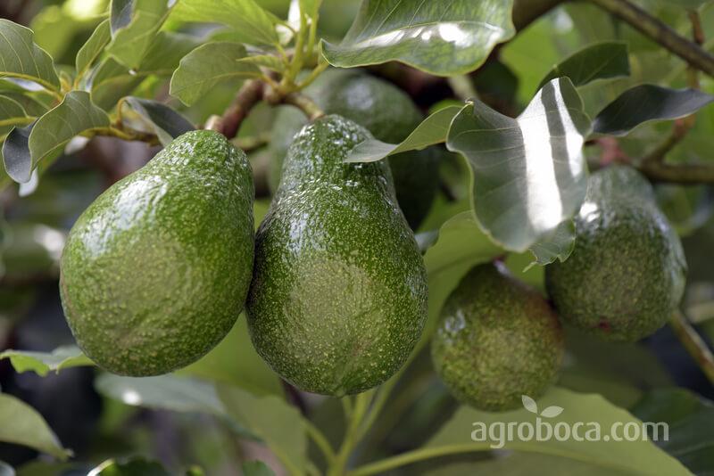 Árbol y fruto del aguacate