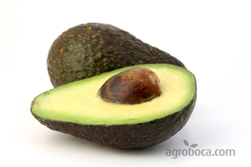 Fruto y semilla del aguacate