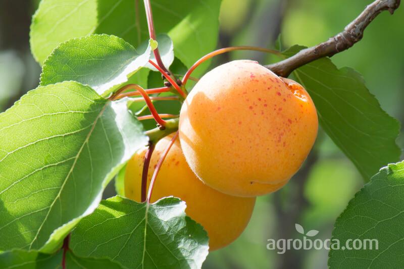 Árbol albaricoquero y su fruta el albaricoque
