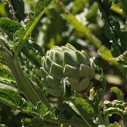 Alcachofa en planta