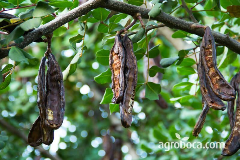 Algarroba en árbol