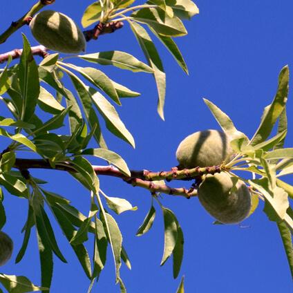 Almendras en árbol