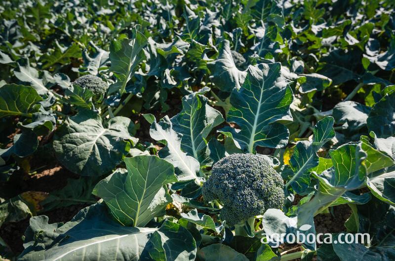 Brócoli en planta