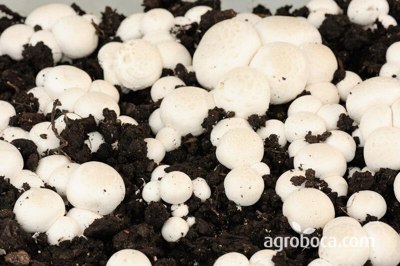 Cultivo del champiñón