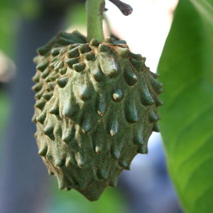 fruta y hoja de la chirimoya