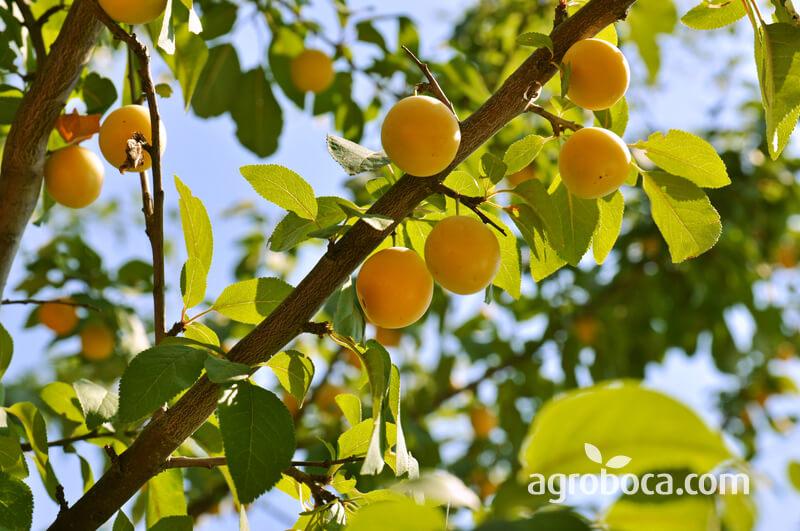 Árbol y fruta de la ciruela