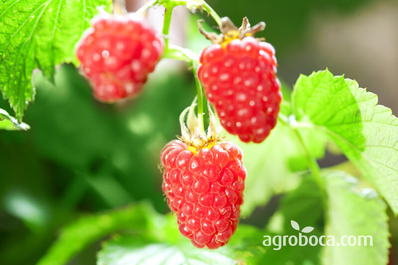 Planta y fruta de la frambuesa