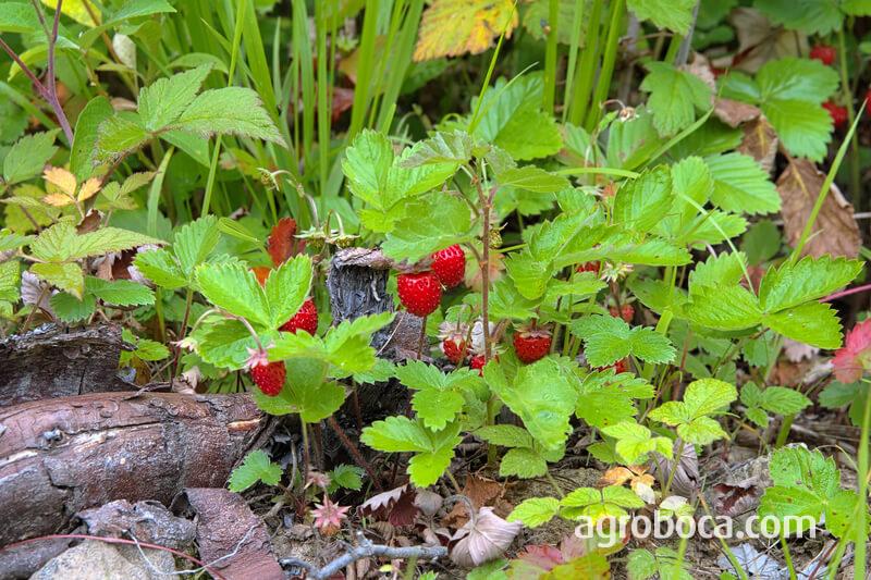 Planta y fruto de la fresa
