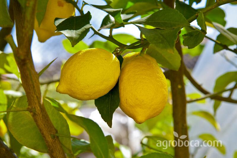 Limones y limonero
