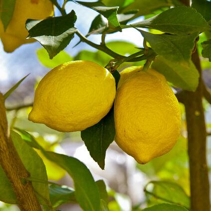 Árbol del limón