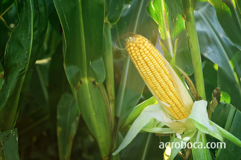 Mazorca de maíz madurando