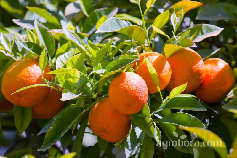 Árbol con mandarinas