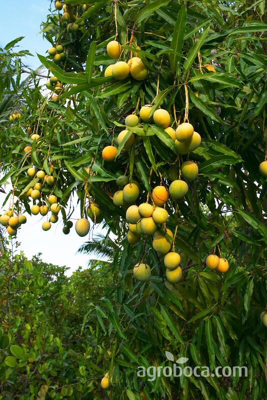 Árbol con mangos