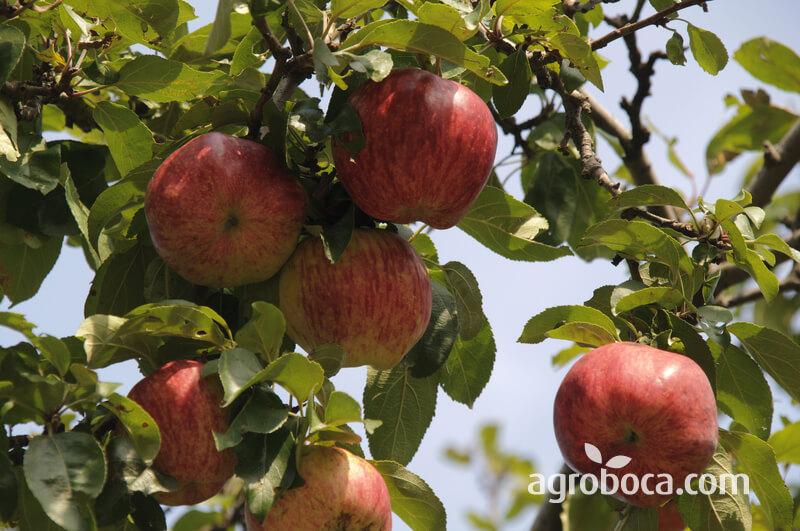Manzanas rojas en árbol
