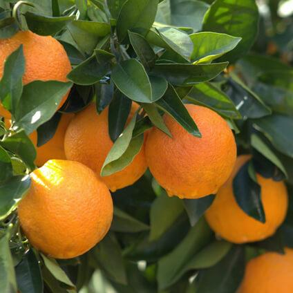 Qué son las naranjas. Tipos de naranjas.