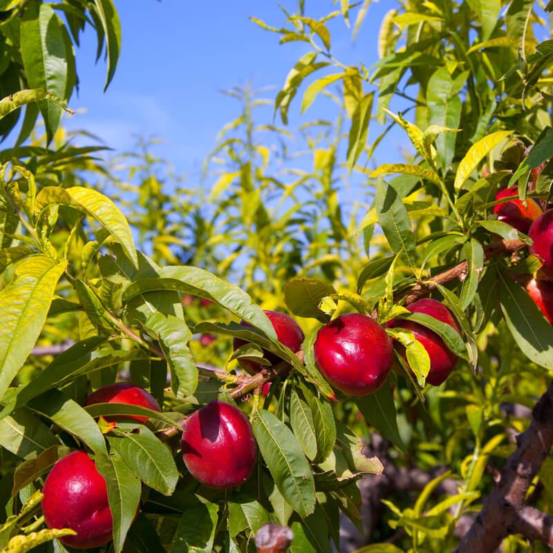 Árbol de las nectarinas