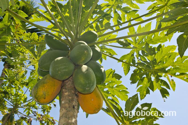 Papayas madurando en árbol