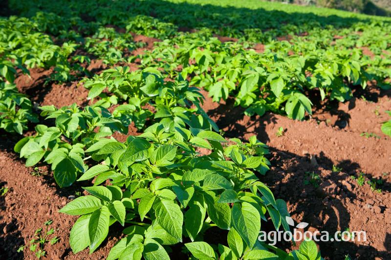 Planta de la patata
