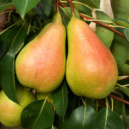 Peras madurando en árbol