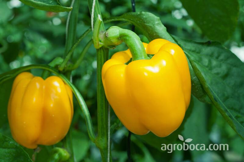 Pimiento amarillo en planta