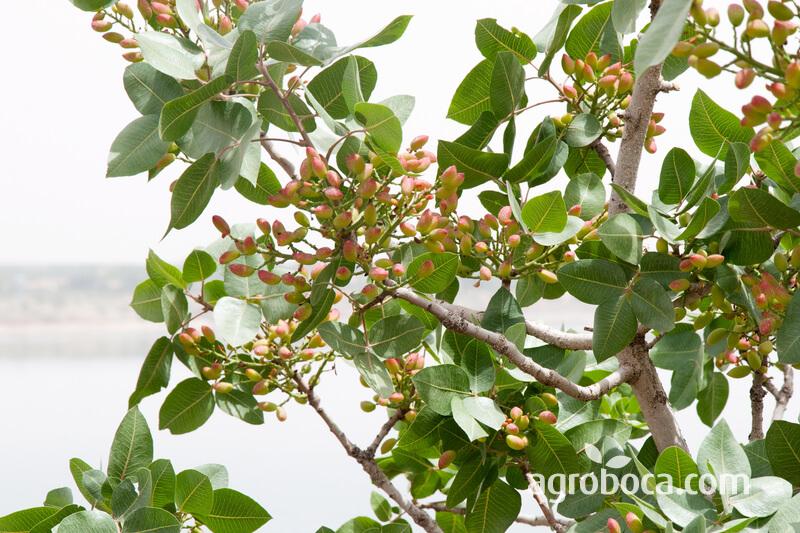 Árbol del pistacho