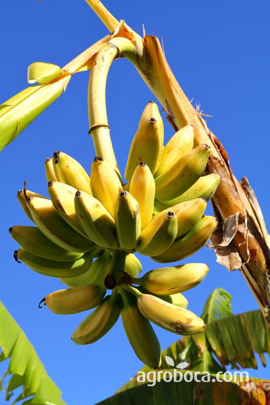 Plátano en árbol