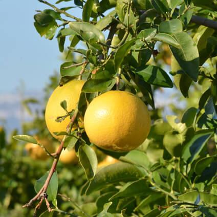 Pomelos en árbol