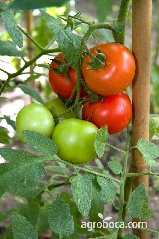 Tomates madurando