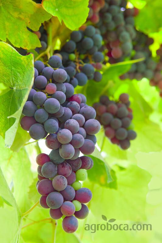 Racimo de uvas de temporada