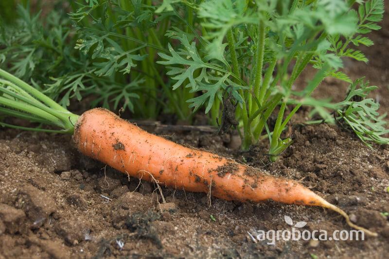 Raíz de la zanahoria