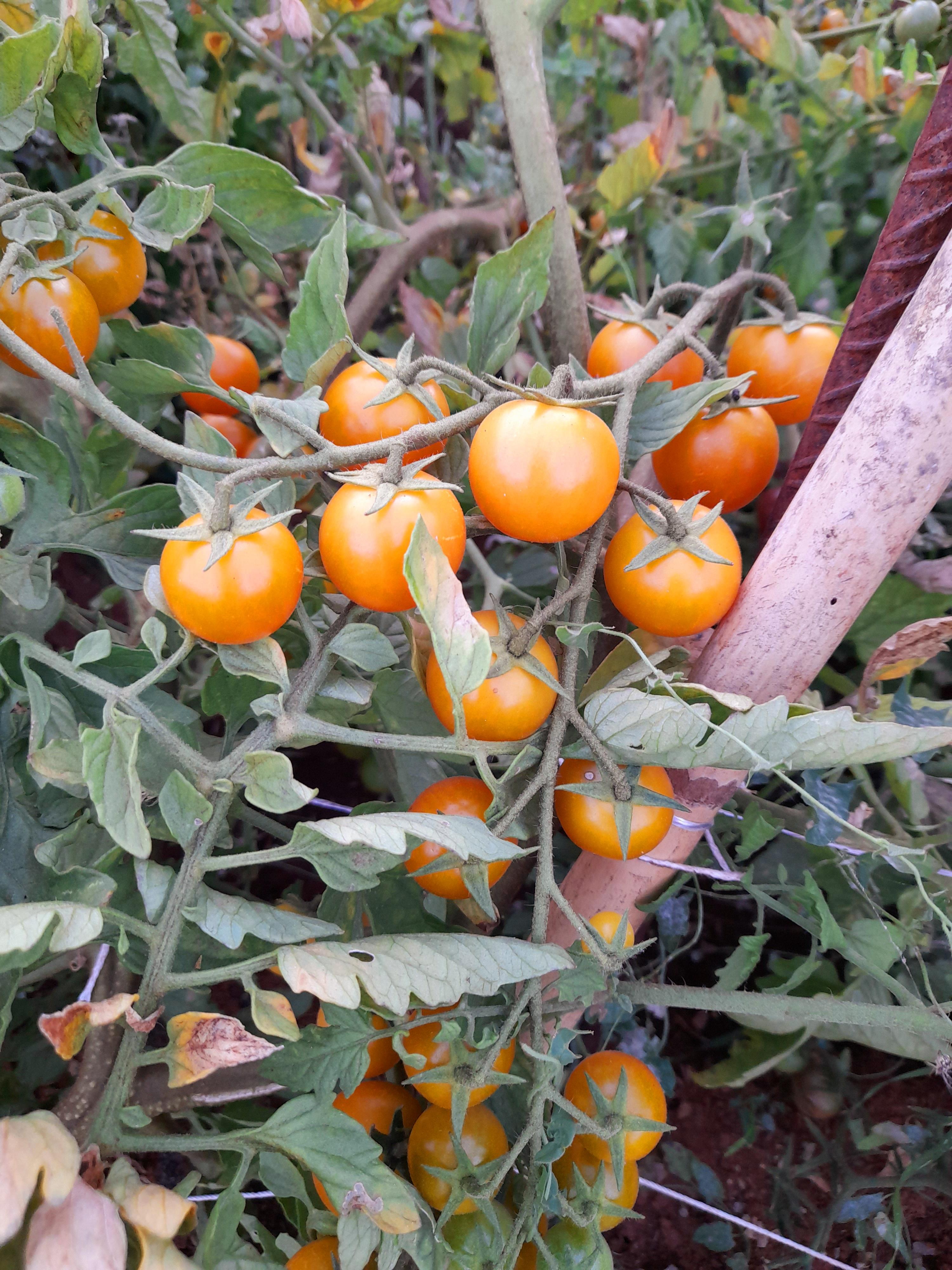 Cherry Rama Amarillo
