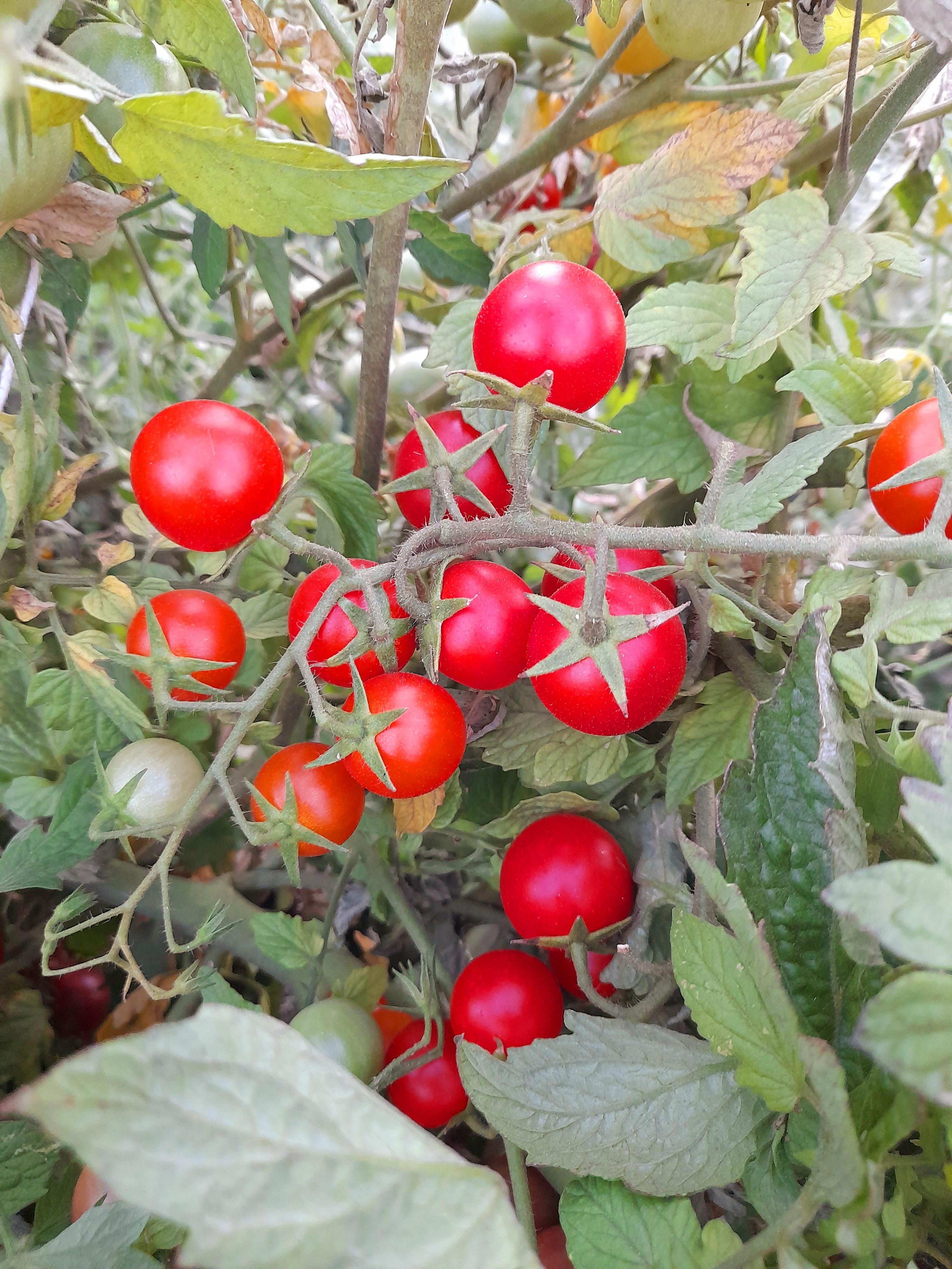 Tomate Cherry Rama Rojo