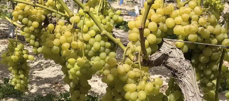 https://www.agroboca.com/productor/frutas-maria-jesus/productos