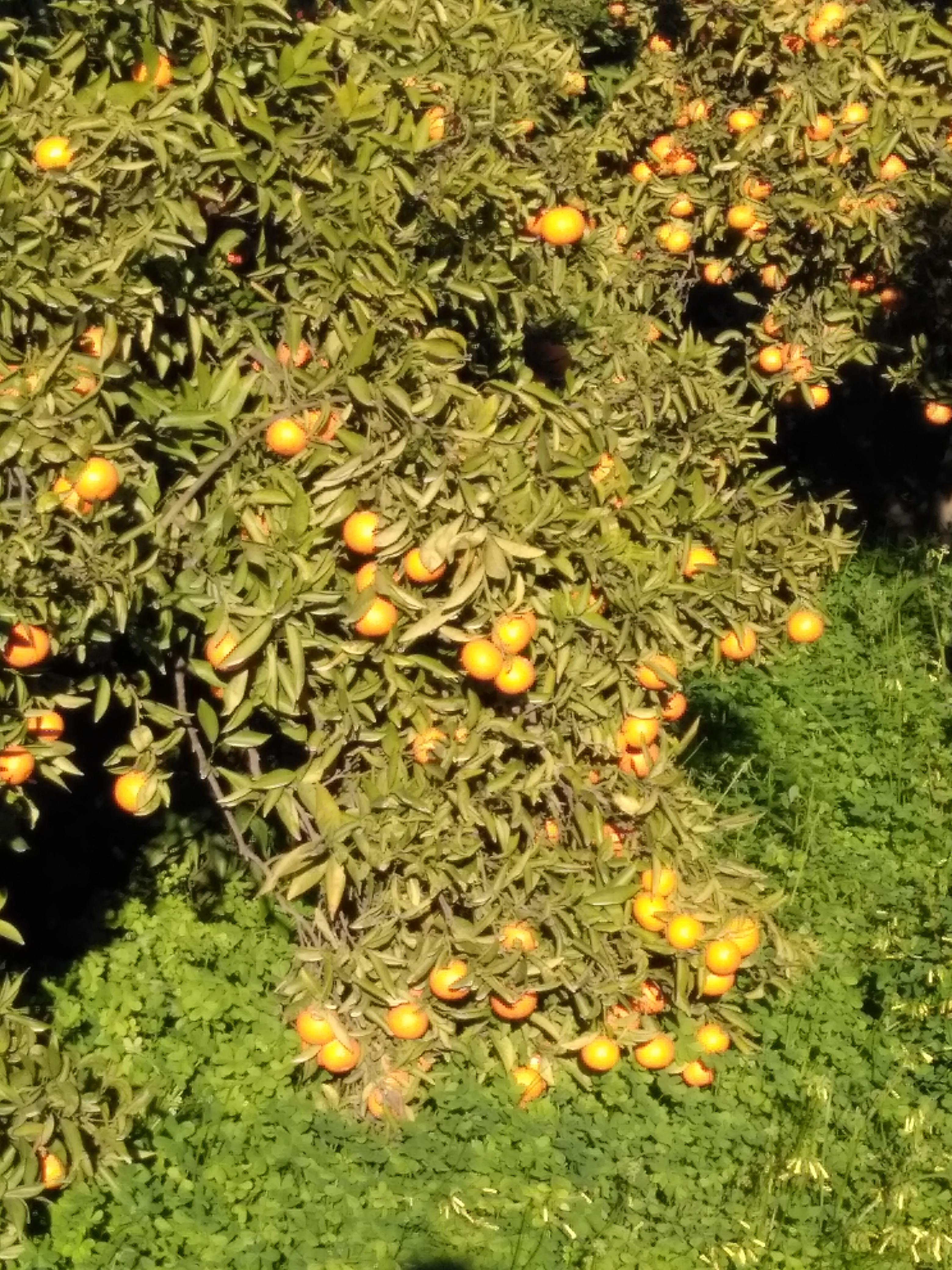 Mandarina fácil de pelar.
