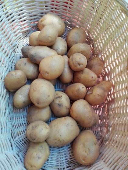 Patata Jaerla (Paquete 20 Kilos)