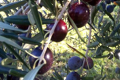 Aceitunas para aceite de Oliva