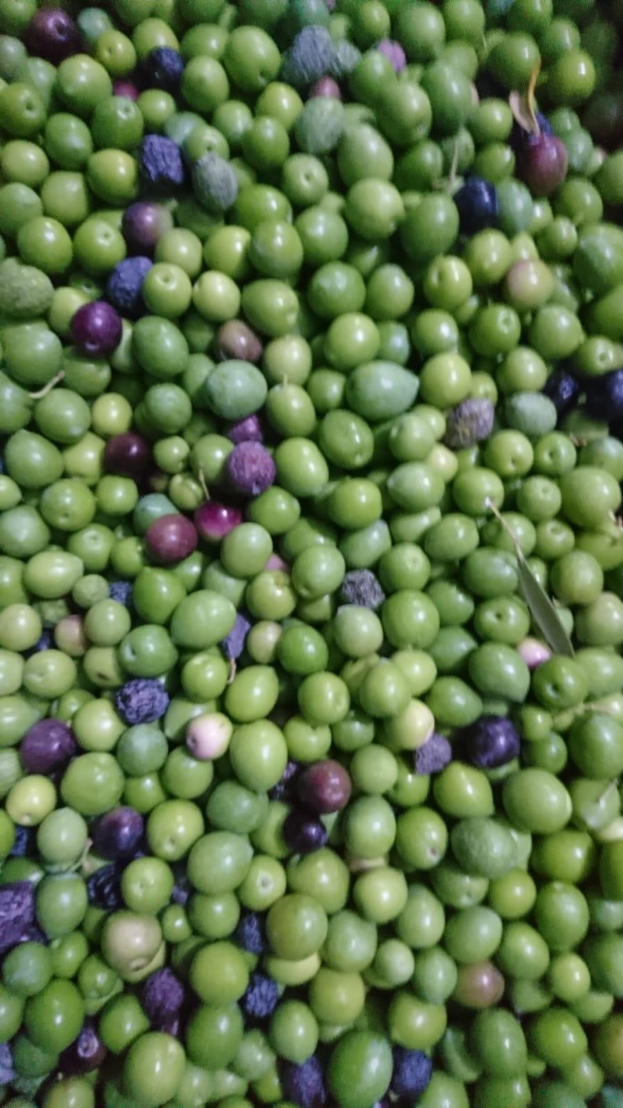 Aceitunas verdes DE SEGUNDA de mesa ecológicas para aliñar - comprar aceitunas crudas - comprar aceitunas al por mayor - comprar aceitunas a granel