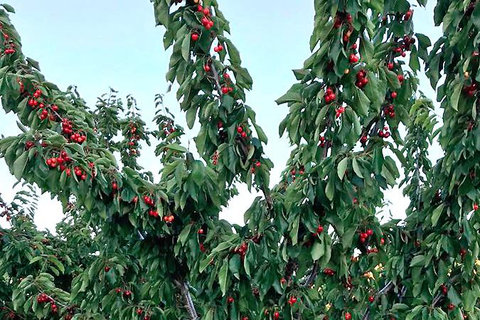 Cherries of Valle del Jerte 4 Kg